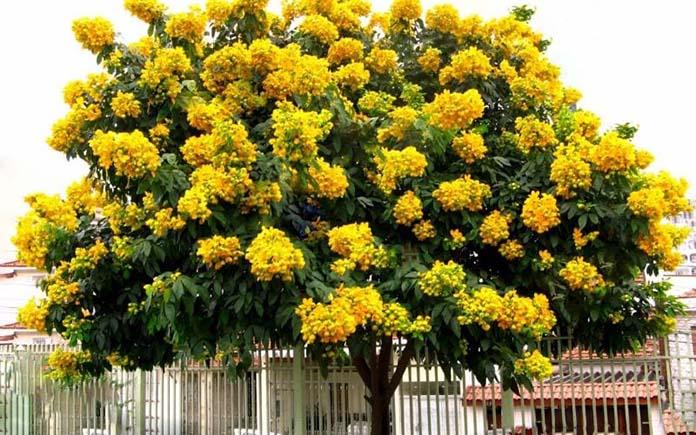 Đặc điểm sinh thái của cây gỗ hương
