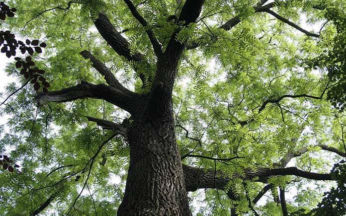 Đặc điểm sinh thái của cây lim